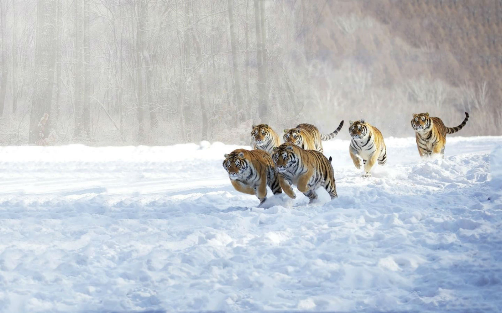 Animals Tiger Snow Wallpapers Hd Desktop And Mobile: Tigers_animals_cats_snow_winter_hd-wallpaper-1585228