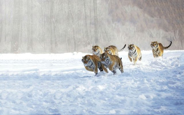 tigers_animals_cats_snow_winter_hd-wallpaper-1585228