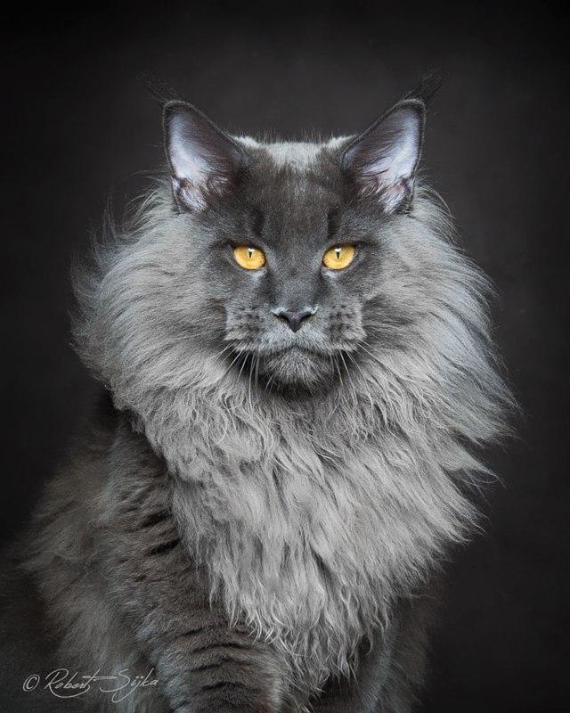 maine-coon-cat-photography-robert-sijka