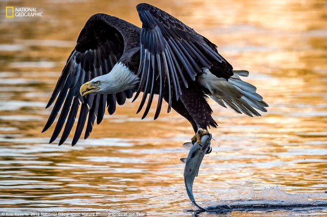 38205c9700000578-3781941-in_this_dynamic_image_a_mature_bald_eagle_drags_the_tail_of_a_fi-a-69_1473440132394
