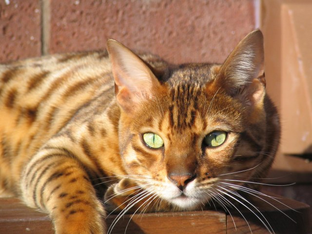 domestic-bengal-cat