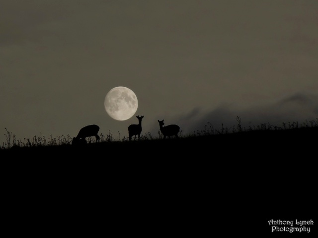 harvest-moon-deer-lynch-1024