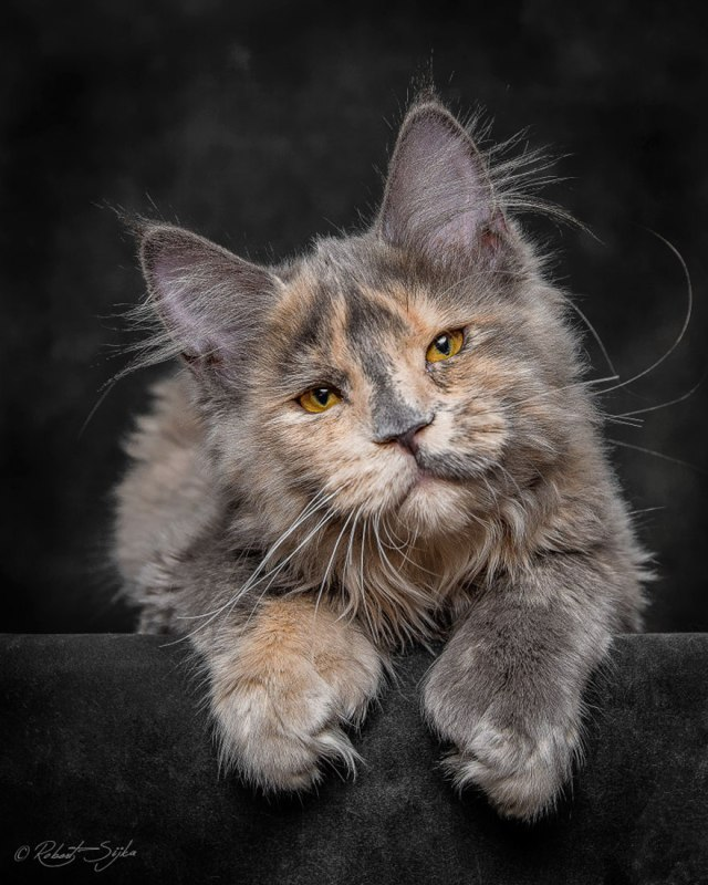 maine-coon-cat-photography-robert-sijka-23
