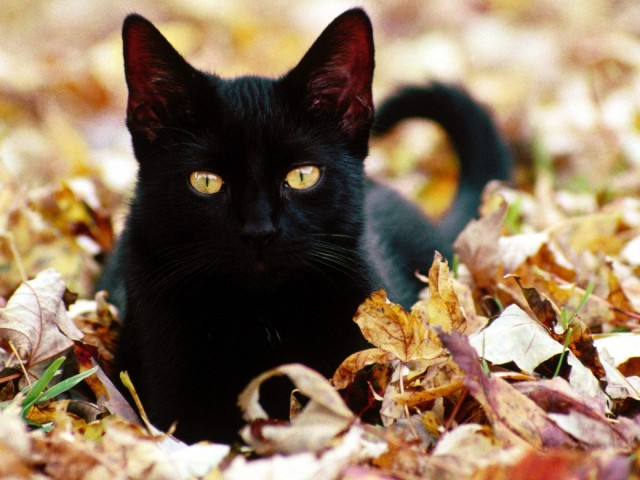 cute-black-cat-fall-leaves