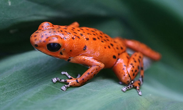 poison-dart-frog1