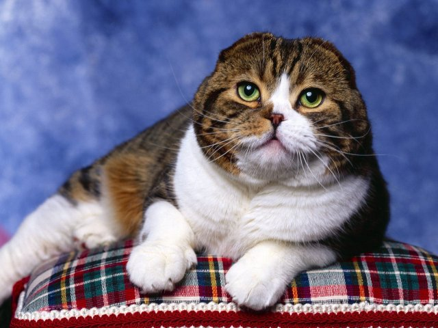 scottishfold