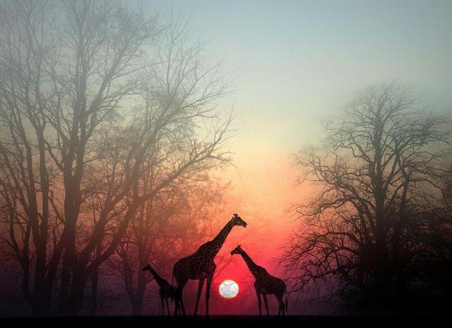 giraffesatdusk