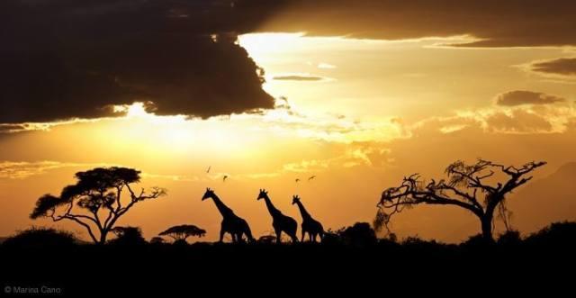 giraffesbymarinacano